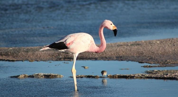 Flamingo em Atacama