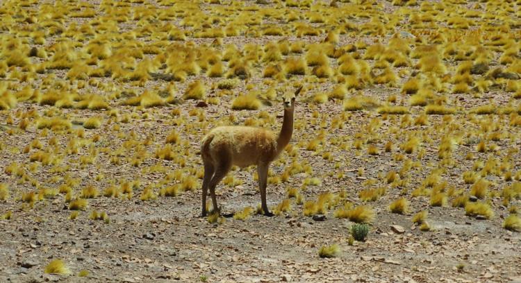 Fauna en el desierto de Atacama