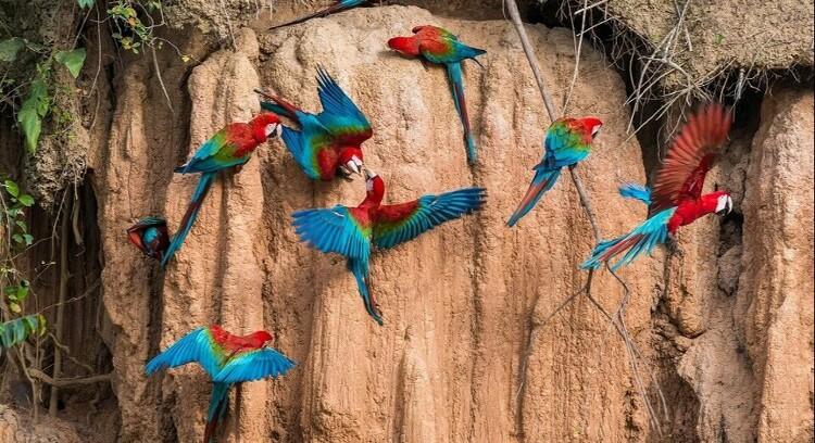 Loros en Parque Nacional Manu
