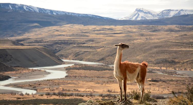 Guanaco nas entradas do Torres del Paine