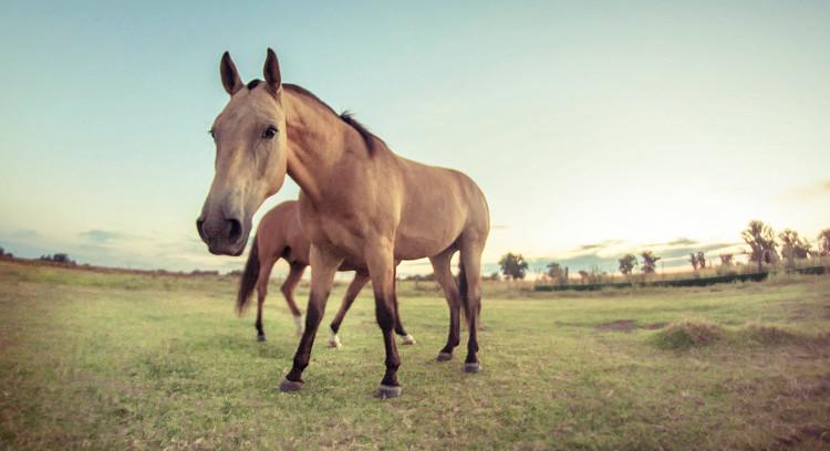 Cavalos na pampa argentina